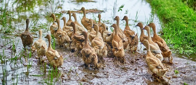 Photo of The Use of Ducks in Rice Fields in the Control of Weed and Pest