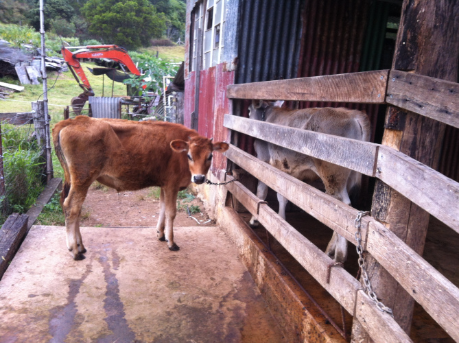 The two smaller calves, tied up to be fed and ticked