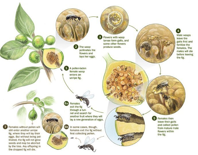 Life Cycle of Fig pollination with wasps.