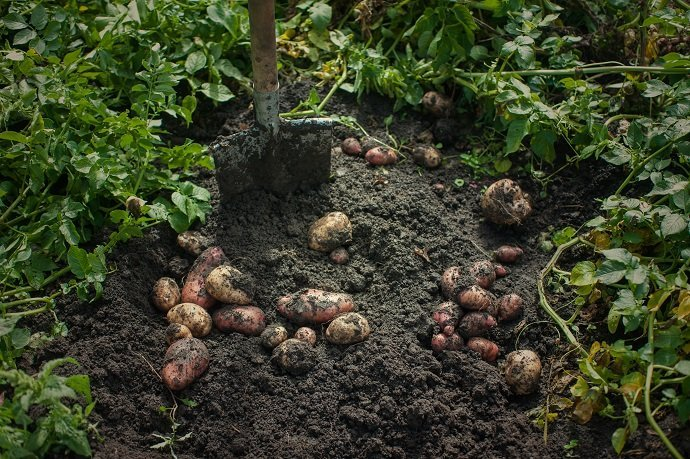 Fresh harvesting potatoes