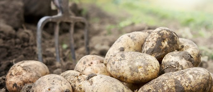 Fresh organic potatoes in the field