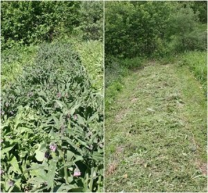 Comfrey Patch - before and after cut and path mowing