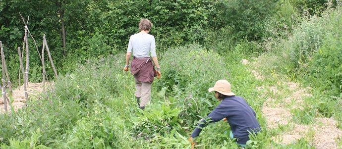 Photo of How much Comfrey can you grow on 13 m2 ? – Comfrey Trial Results Year 1