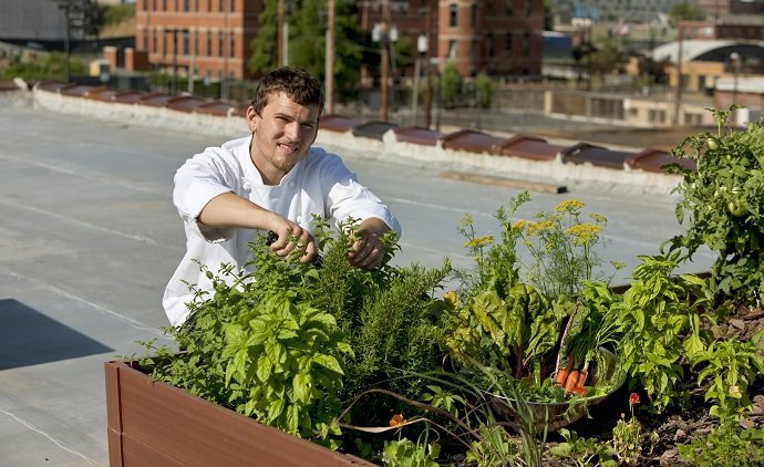 "A young trendy chef harvests fresh herbs from the rooftop garden of his urban restaurant, promoting healthy eating, nutrition and ""going green"".  City skyline in the background."