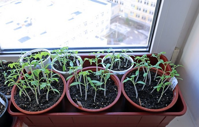 Tomato seedlings on the windowsill