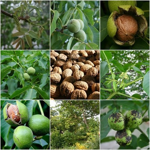 The essential guide to everything you need to know to grow walnuts