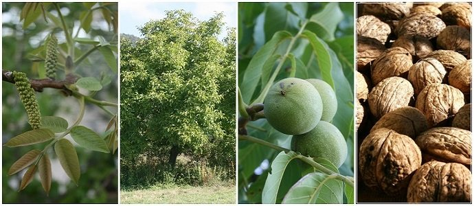 The Essential Guide to Everything you Need to Know about Growing Walnuts - Juglans regia feat