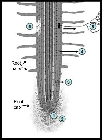 Figure 2: Diagram of a root in the rhizosphere showing six areas of rhizodeposition 1. Sloughing-off of root cap, 2. Loss of mucilage (which functions as a root lubricant), 3. Loss of soluble root exudates, 4. Release of volatile organic carbon, 5. Loss of carbon in symbiotic relationship, 6. Loss of carbon owing to death or rupture of root cells. Source: https://www.nature.com/scitable/content/schematic-of-a-root-showing-6-major-68130482