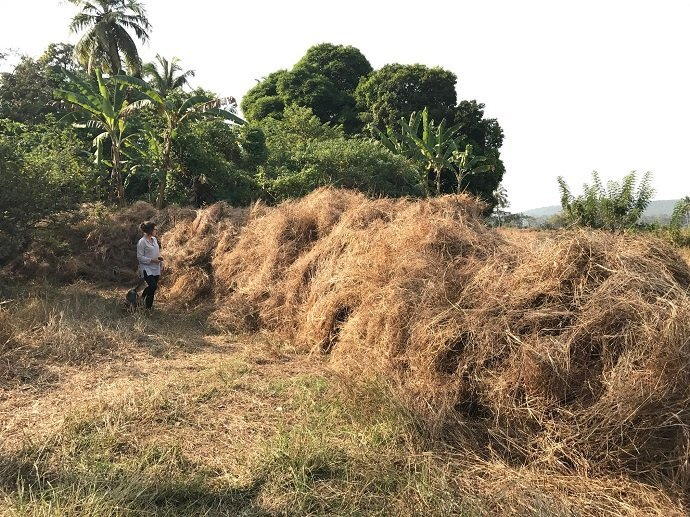 Collecting the rice stalks  and wild grasses. It's a race to get them stocked before the big burn off.