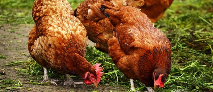 Photo of How Sustainable Are Chickens?