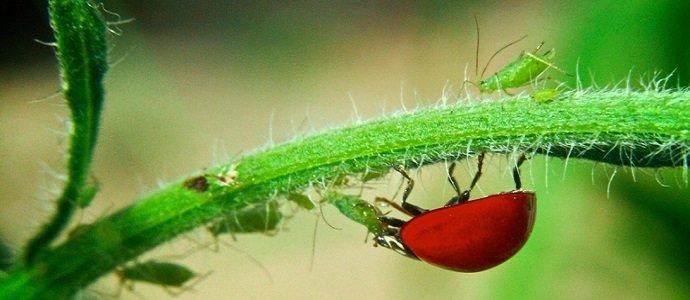 Ladybug (Courtesy of Anderson Mancini)