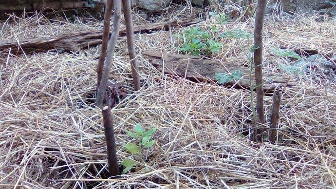 Little plants pushing through the mulch.   Photo Credit: Jonathon Engels