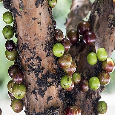 The Jaboticaba, the Perfect Food Forest Addition