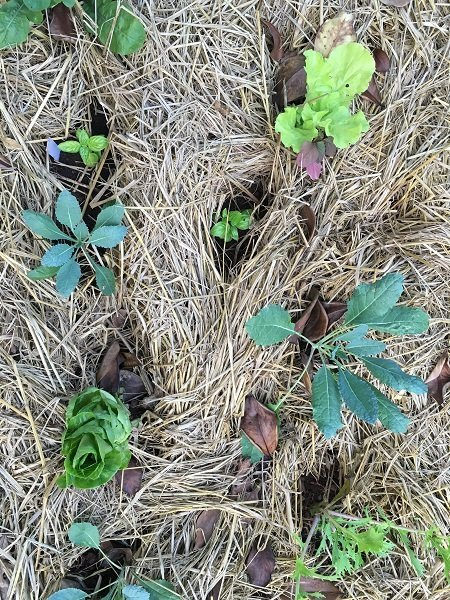 Young plants under a protective blanket of mulch.