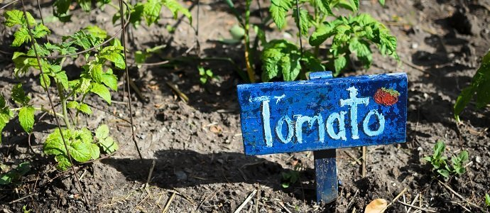 Rustic hand-made painted wooden Tomato sign next to young tomato