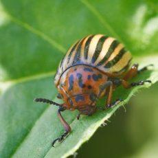 colorado potato beetle in potatoes leaves