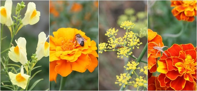 Support Species Tagetes spp. and Calendula officinalis are planted within the vegetables and attract a large diversity of invertebrates some of which are beneficial to the crops.