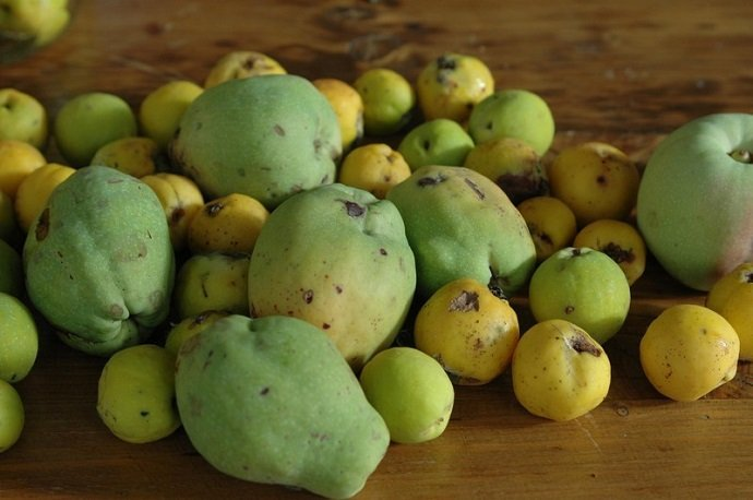 Variable sizes of Chaenomeles spp. Photo from - http://doctorschar.com/japanese-quince/