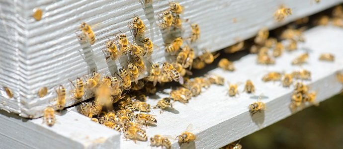 bees and invasion  bees