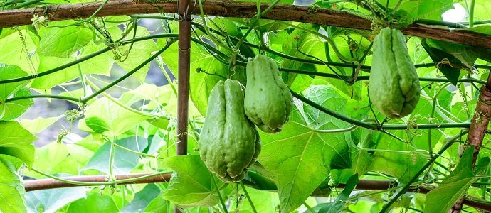 Chayote fruits hang on trellis.