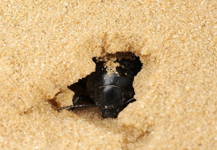 Darkling beetle in the sand