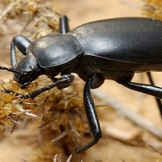 Darkling beetle on the sand