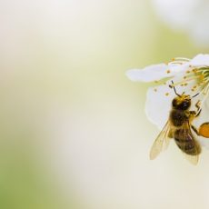 Production of bee-friendly insecticide to remain in Australia