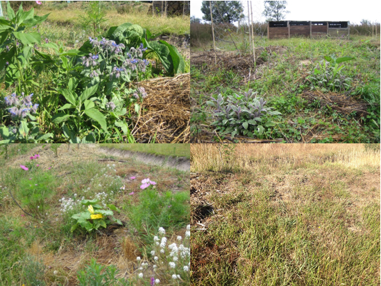 The first three photos show a diversity of groundcovers e.g. clover, borage, comfrey, herbs and flowers at an early stage of the orchard establishment. Now the groundcover is dominated by native and introduced grasses (photo bottom right).