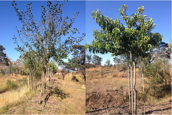 A few of the trees we planted five years ago (left: plum, right: nectarine) have now reached a size where the wildlife can't reach the branches anymore. However, insects are still doing their work (see leaves of the plum tree at top right).