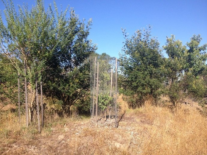 Newly planted trees are protected from winds and the western sun by Black Wattles and Tagasaste. The Wattle trees look lush compared to the Tagasaste on the very left and can be chopped more frequently for mulching.