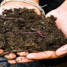 Earthworms and soil in hand
