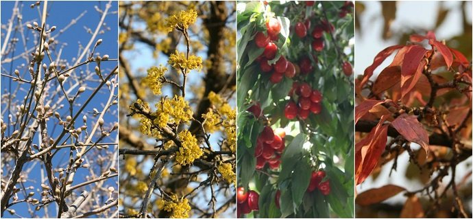 Four seasons of Cornus mas from our home garden.