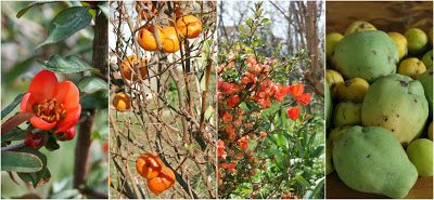 Chaenomeles speciosa - Japanese Quince
