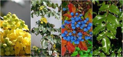 Mahonia aquifolium - Oregon Grape