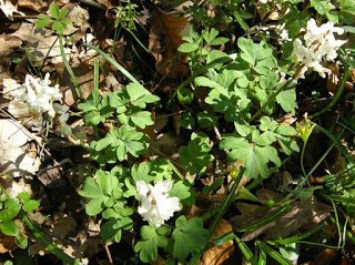Corydalis bulbosa growing through the forest mulch