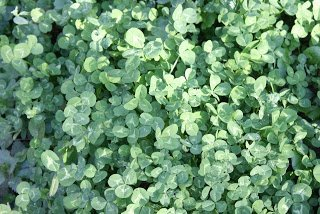 Trifolium repens ground cover