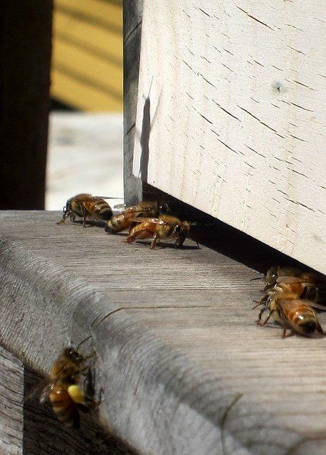 Top Bar Hive (Rick&Brenda Beerhorst)