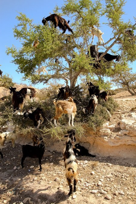 Goat feeding high in the branches of a tree in Morocco