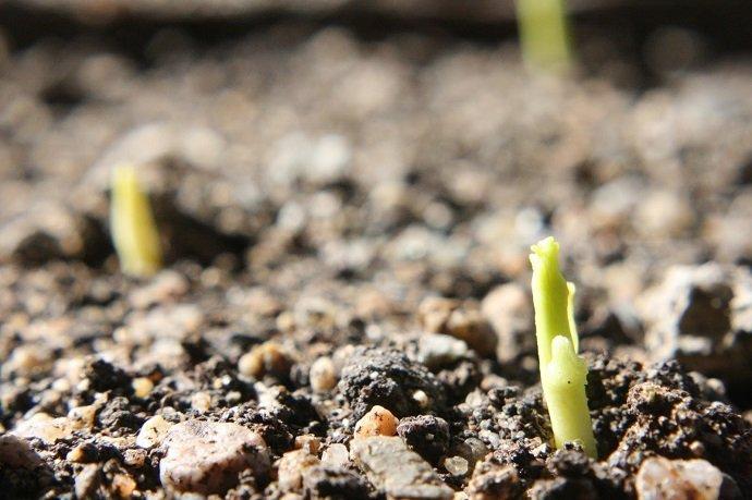 Gingko biloba seedling