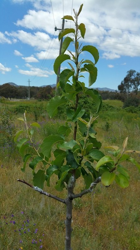 Figure 8 - This is a pear graft made on a wild manchurian pear growing at a green spot in Canberra