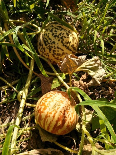 Tigger melons ripening Via https://sanctuarygardener.wordpress.com/2013/07/15/sanctuary-gardener-update-71513/