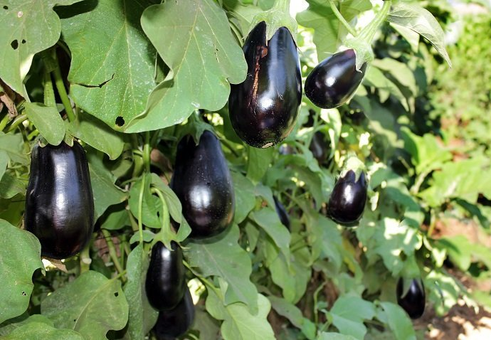 The Incredible Edible Eggplant 01