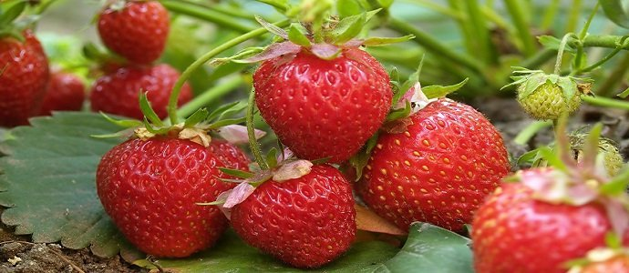 Bush of red strawberry growing in a garden