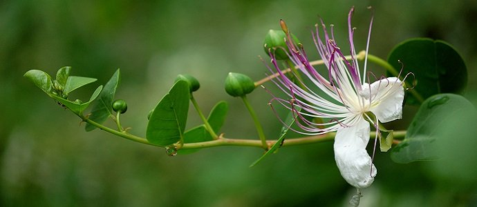 closeup of beautiful caper buds and flower