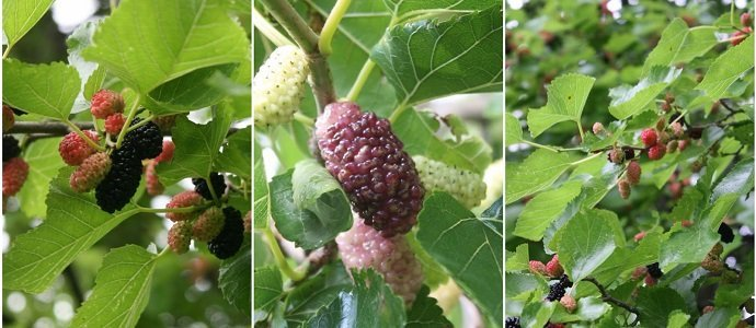 Photo of Mo' Mulberry – The Essential Guide to All You Need to Know About Mulberry
