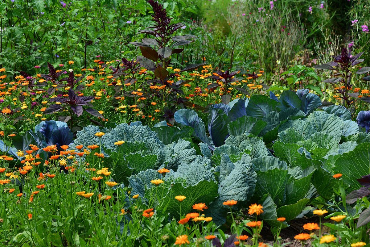 Cabbage in the garden with calendula and amaranth.