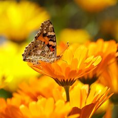 Butterfly landing on a calendula flower