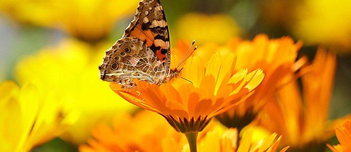 Butterfly landing on a calendula flower