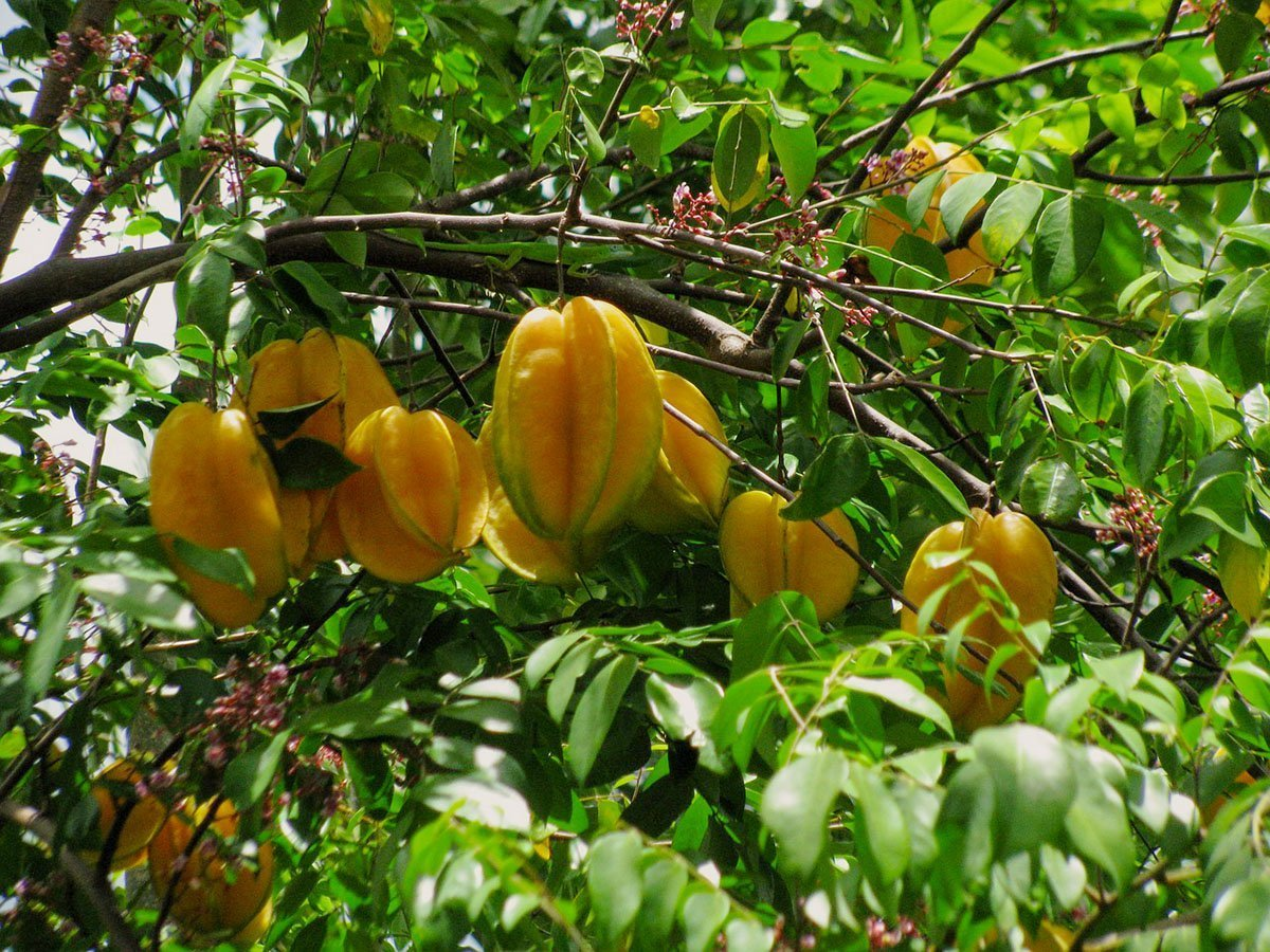 Carambola fruits hanging from the branch with flowers