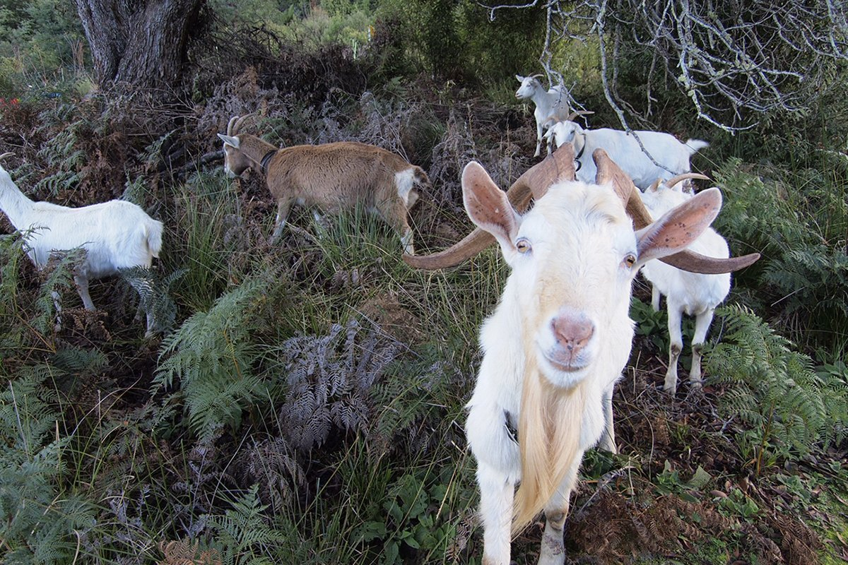 Photo of Goats and Permaculture